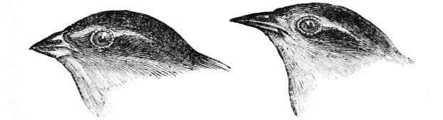 beak finch