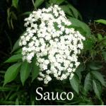 Sauco flower natural medicine