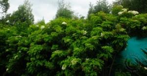 Sauco trees