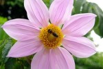 Dahlia Imperialis with bee 360