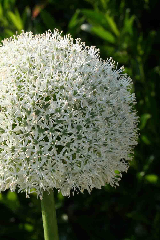 Allium Mont Blanc Pflanzen   Hydrangea Aspera Macrophylla