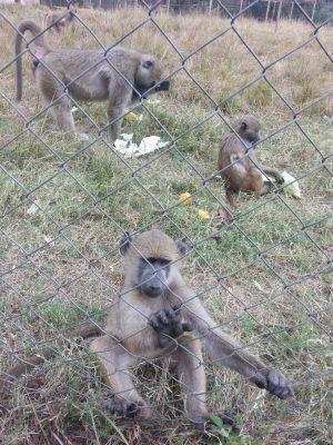 Monkeys at Munda Wanga Zoo