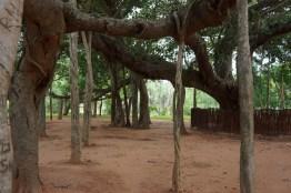 Banyan Aerial Roots