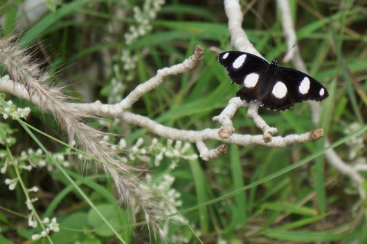 Auroville Butterfly