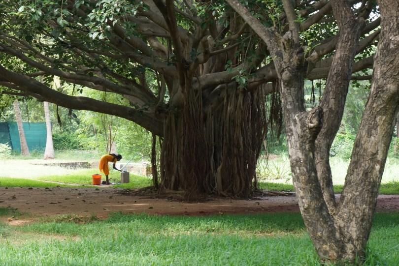Auroville Tree