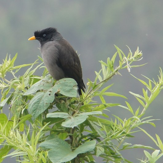 Kodai Bird