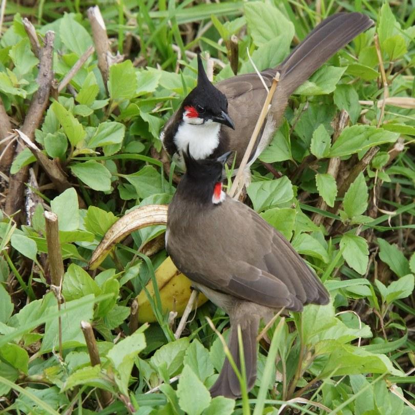 Kodai Birds Eating Banana