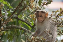 Kodai Monkey
