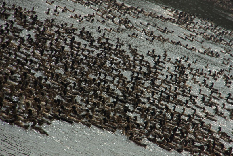 Thousands of Ducks