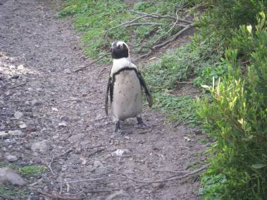 Here's a picture of a penguin I took in Betty's Bay, South Africa. How can you say no to travelling with a face like that?