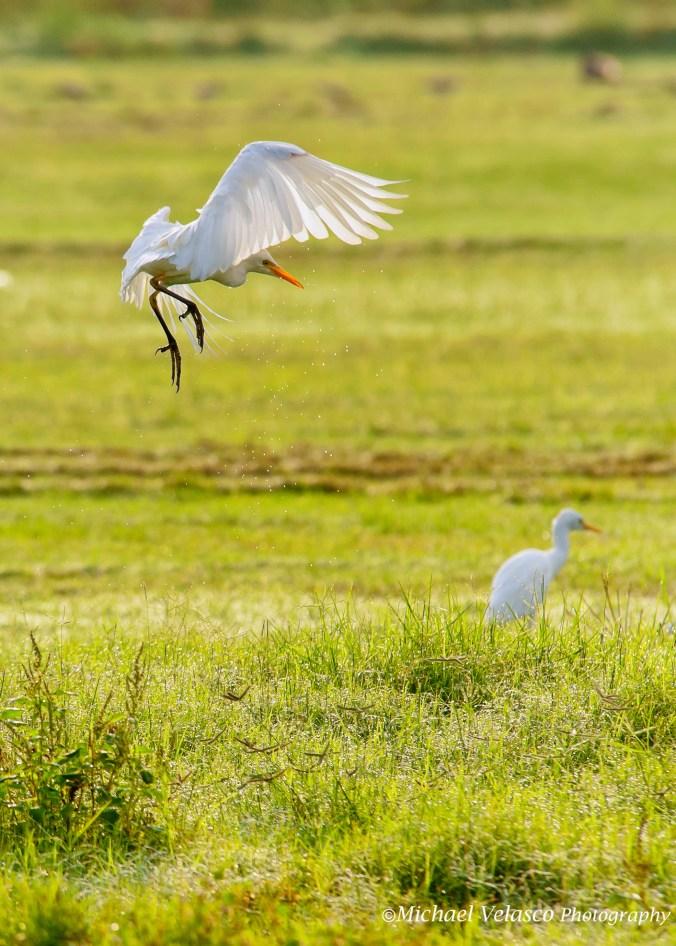 Cattle Egret take-off