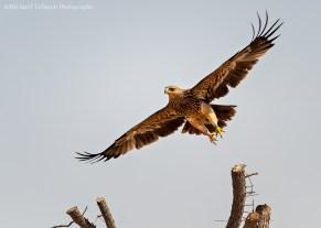 Imperial Eagle take-off