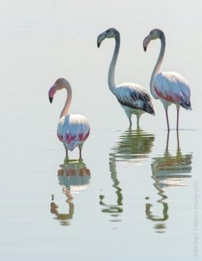 Flamingo trio