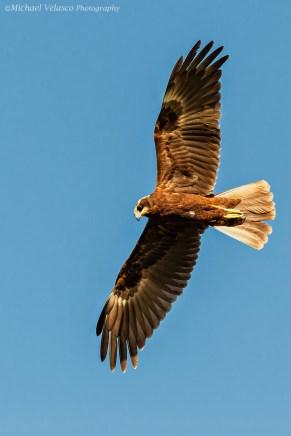 Marsh Harrier fly by