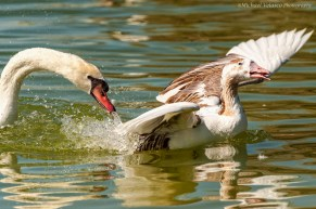Swan pecked