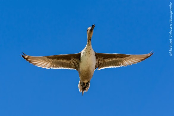 Duck fly by