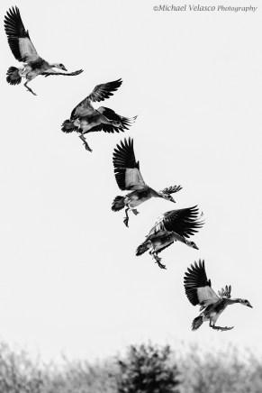 Egyptian goose landing sequence