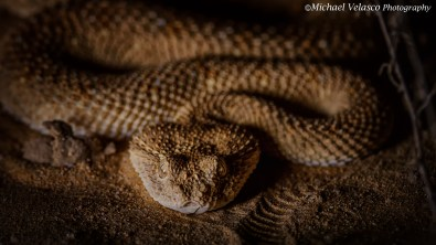 Face to face with an Arabian Horned Viper.
