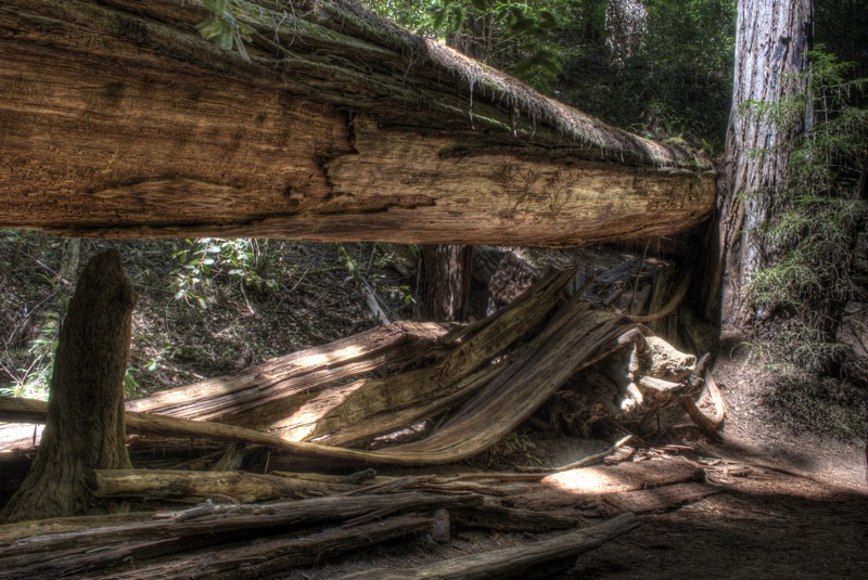 A redwood shedding its bark.
