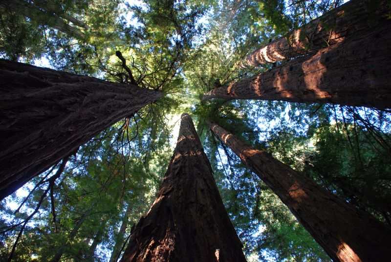 Redwoods are particularly tall trees.