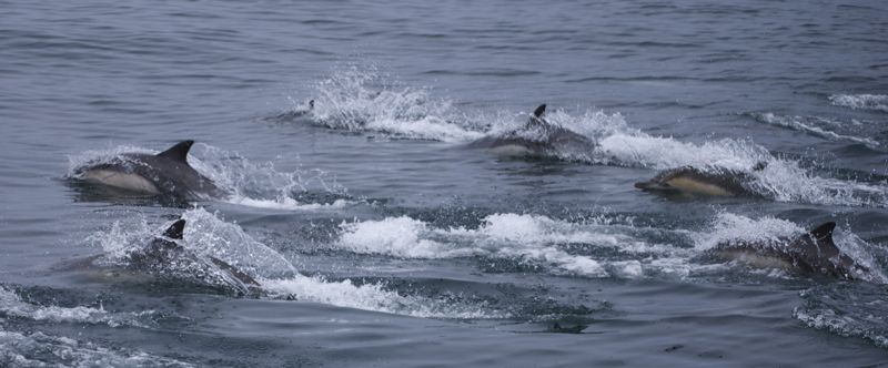 A pack of dolphins out of Santa Barbara harbor.