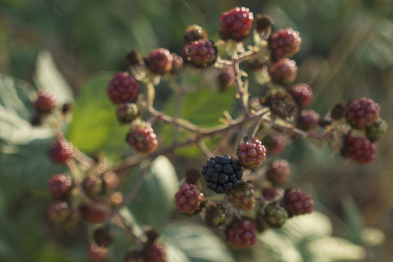 They tend towards overripe, under ripe or already eaten by hikers.