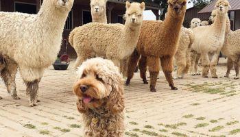 A Fluffy dog and Alpacas