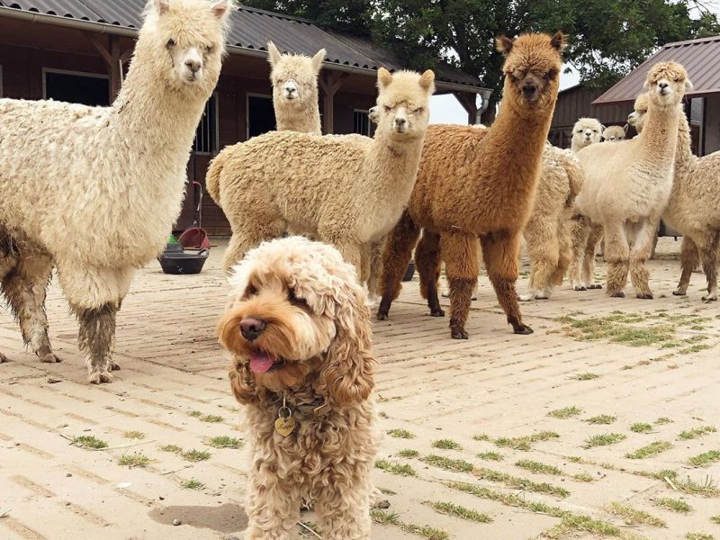 A Fluffy dog and Alpacas