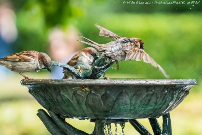 Sparrow at Bird Bath in Central Park