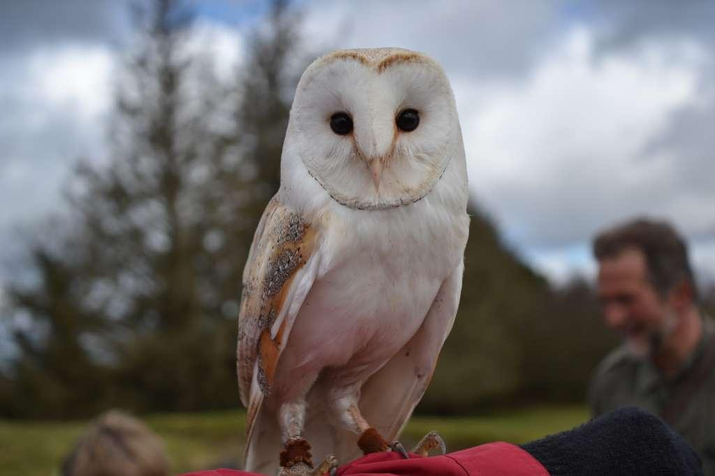 Irish Barn Owl which is endangered