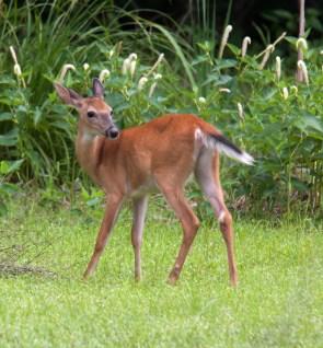 deer1_june_blog