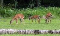deer3_june_blog