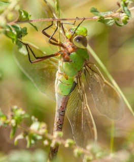 darner1_young_blog
