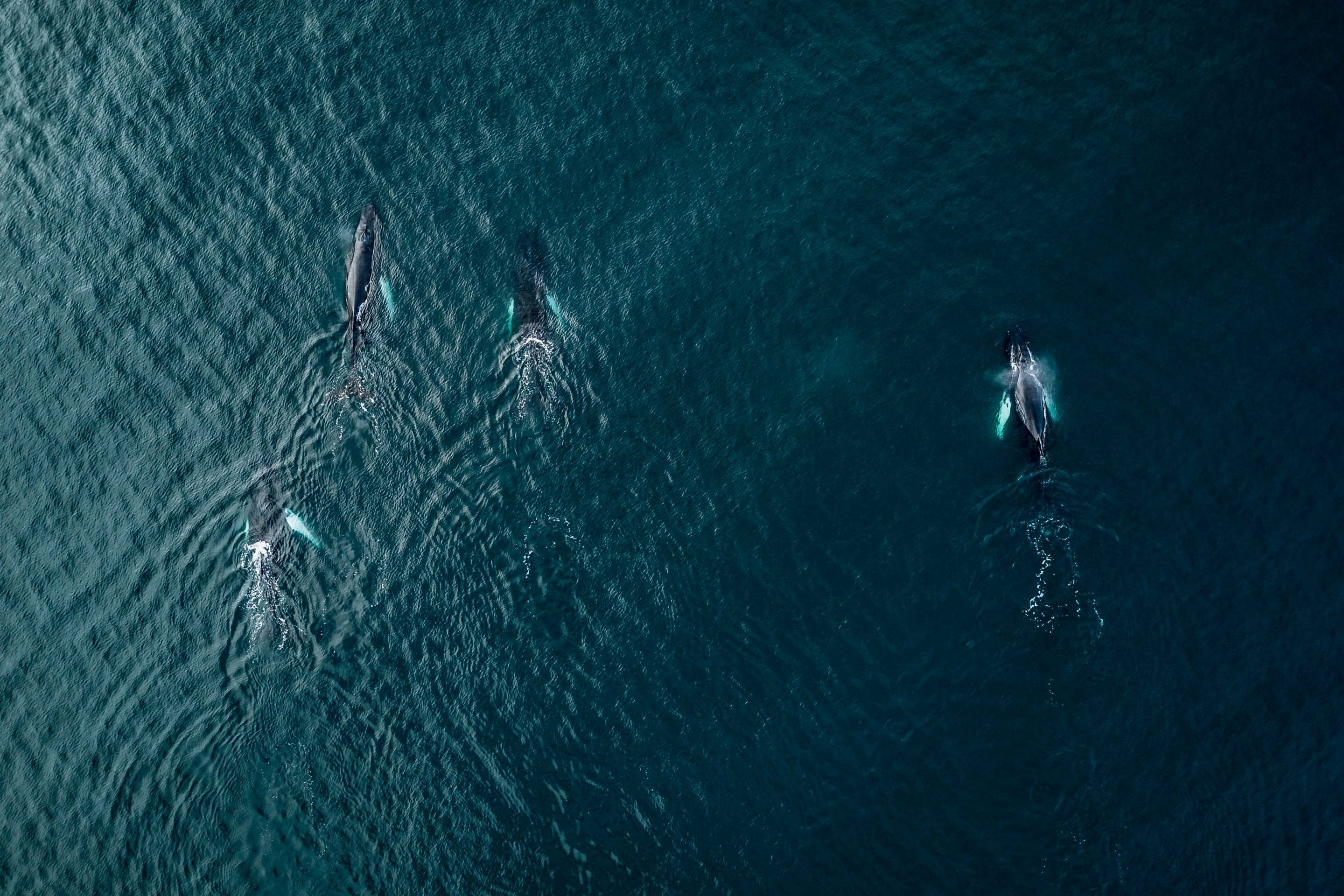 A school of humpback whales captured via drone in the ocean near the Icelandic coast playfully engaging with a ship by photographer Michael Schauer