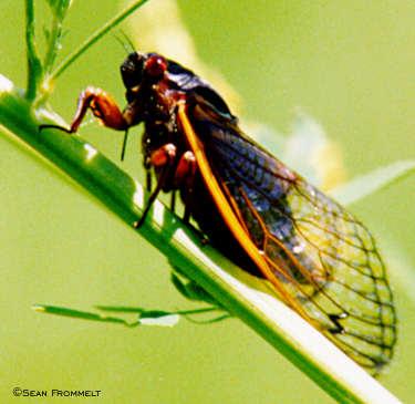 Cicadas vs Periodic Cicadas vs Grasshoppers vs Locusts (2/3)