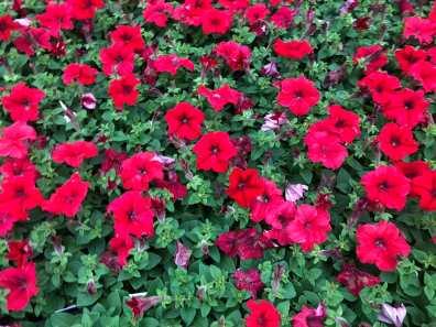 606 Petunia - Dreams Red