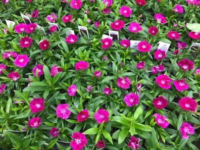 806 Dianthus - Ideal Select Violet