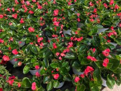 """8"""" Begonia BIG"""