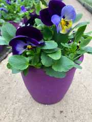 """8"""" Pansy in Color Pot"""