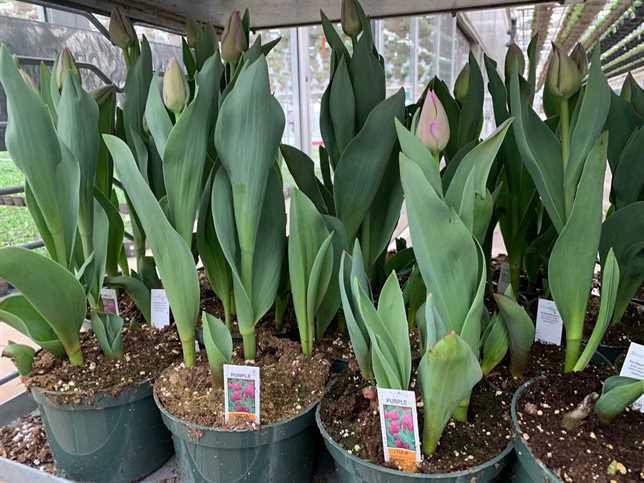 """6"""" Tulip"""