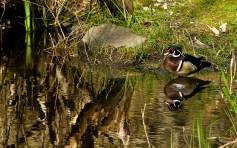 Wood Duck Dandy