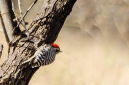 Ladderback Woodpecker
