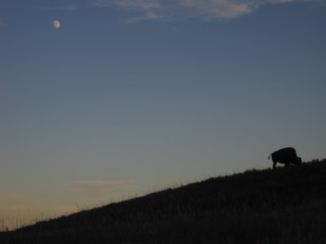 Moon and the Buffalo