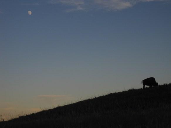 Moon and the Buffalo