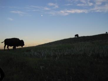 Buffalo Moon