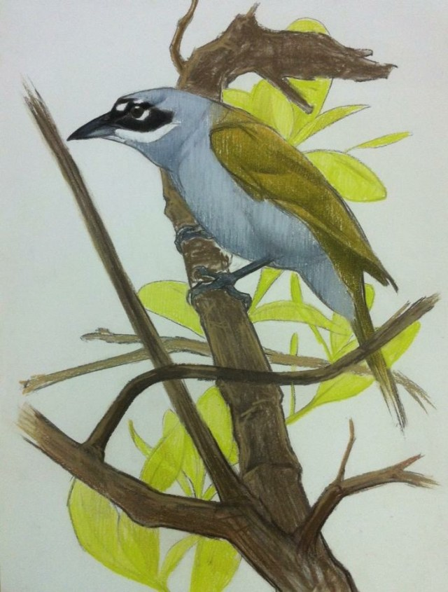 10. Gray-Crowned Palm Tanager (Haïti)