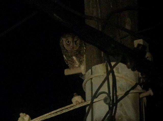 9. European Scops Owl photograph (Greece)