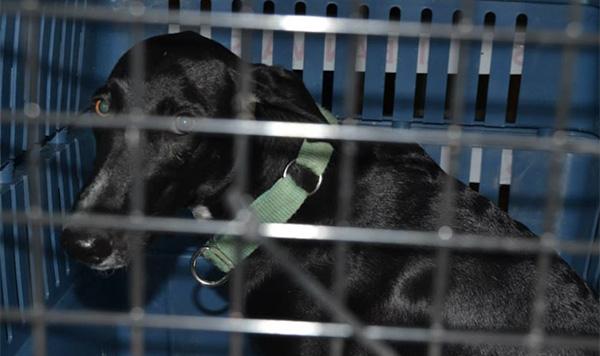 Perros abandonados en España viajan a Finlandia para encontrar casa