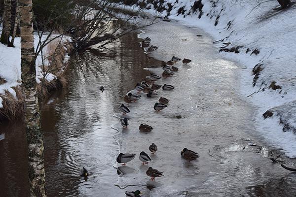 Patos río Finlandia