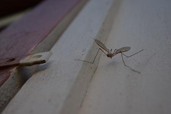 mosquito Finlandia